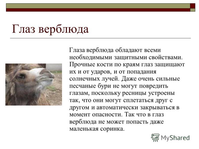 Глаз верблюда Глаза верблюда обладают всеми необходимыми защитными свойствами. Прочные кости по краям глаз защищают их и от ударов, и от попадания солнечных лучей. Даже очень сильные песчаные бури не могут повредить глазам, поскольку ресницы устроены