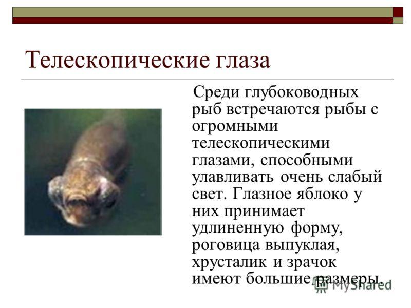 Телескопические глаза Среди глубоководных рыб встречаются рыбы с огромными телескопическими глазами, способными улавливать очень слабый свет. Глазное яблоко у них принимает удлиненную форму, роговица выпуклая, хрусталик и зрачок имеют большие размеры