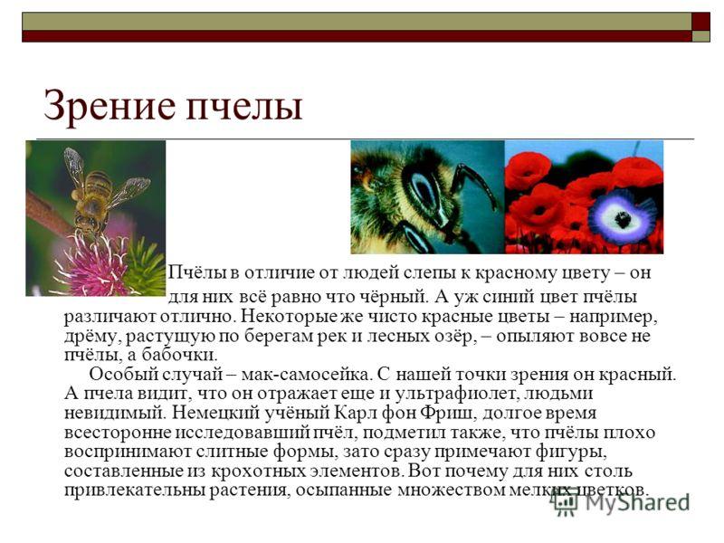 Зрение пчелы Пчёлы в отличие от людей слепы к красному цвету – он для них всё равно что чёрный. А уж синий цвет пчёлы различают отлично. Некоторые же чисто красные цветы – например, дрёму, растущую по берегам рек и лесных озёр, – опыляют вовсе не пчё