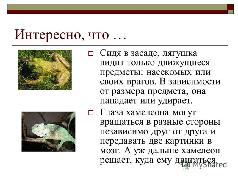 Интересно, что … Сидя в засаде, лягушка видит только движущиеся предметы: насекомых или своих врагов. В зависимости от размера предмета, она нападает или удирает. Глаза хамелеона могут вращаться в разные стороны независимо друг от друга и передавать