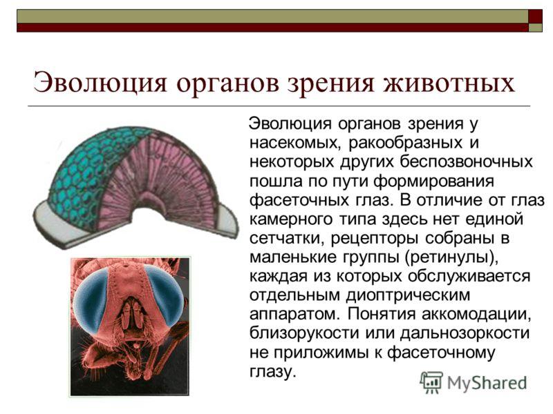 Эволюция органов зрения животных Эволюция органов зрения у насекомых, ракообразных и некоторых других беспозвоночных пошла по пути формирования фасеточных глаз. В отличие от глаз камерного типа здесь нет единой сетчатки, рецепторы собраны в маленькие