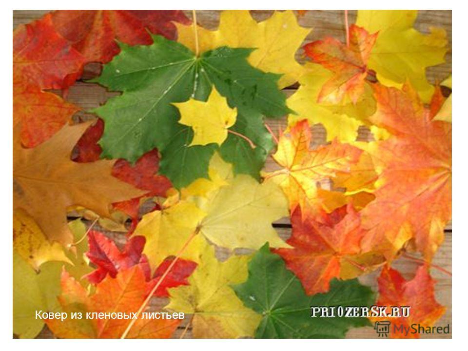 Ковер из кленовых листьев
