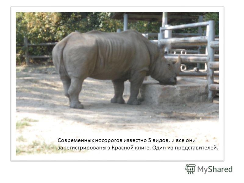 Современных носорогов известно 5 видов, и все они зарегистрированы в Красной книге. Один из представителей.