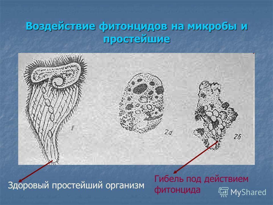 Здоровый простейший организм Гибель под действием фитонцида Воздействие фитонцидов на микробы и простейшие