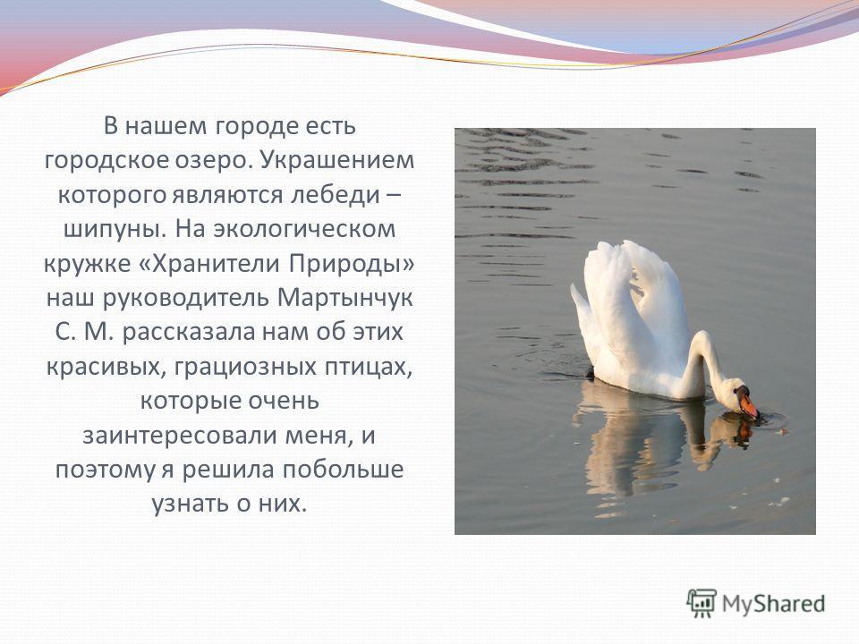 В нашем городе есть городское озеро. Украшением которого являются лебеди – шипуны. На экологическом кружке «Хранители Природы» наш руководитель Мартынчук С. М. рассказала нам об этих красивых, грациозных птицах, которые очень заинтересовали меня, и п