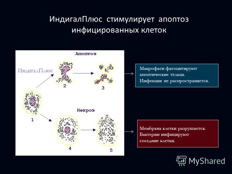 ИндигалПлюс стимулирует апоптоз инфицированных клеток Макрофаги фагоцитируют апоптические тельца. Инфекция не распространяется. Мембрана клетки разрушается. Бактерии инфицируют соседние клетки. ИндигалПлюс
