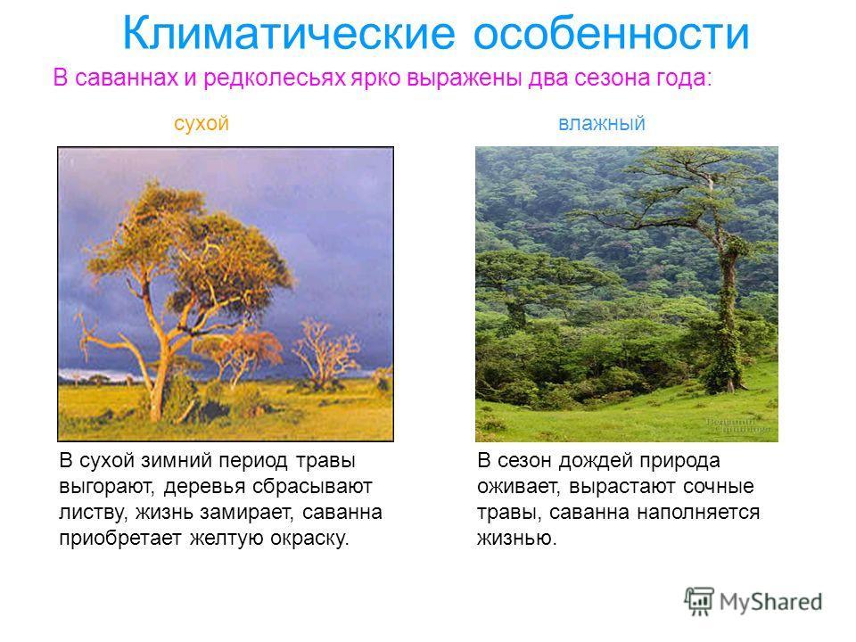 Климатические особенности В саваннах и редколесьях ярко выражены два сезона года: сухойвлажный В сухой зимний период травы выгорают, деревья сбрасывают листву, жизнь замирает, саванна приобретает желтую окраску. В сезон дождей природа оживает, выраст