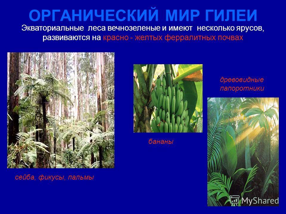 ОРГАНИЧЕСКИЙ МИР ГИЛЕИ сейба, фикусы, пальмы Экваториальные леса вечнозеленые и имеют несколько ярусов, развиваются на красно - желтых ферралитных почвах древовидные папоротники бананы
