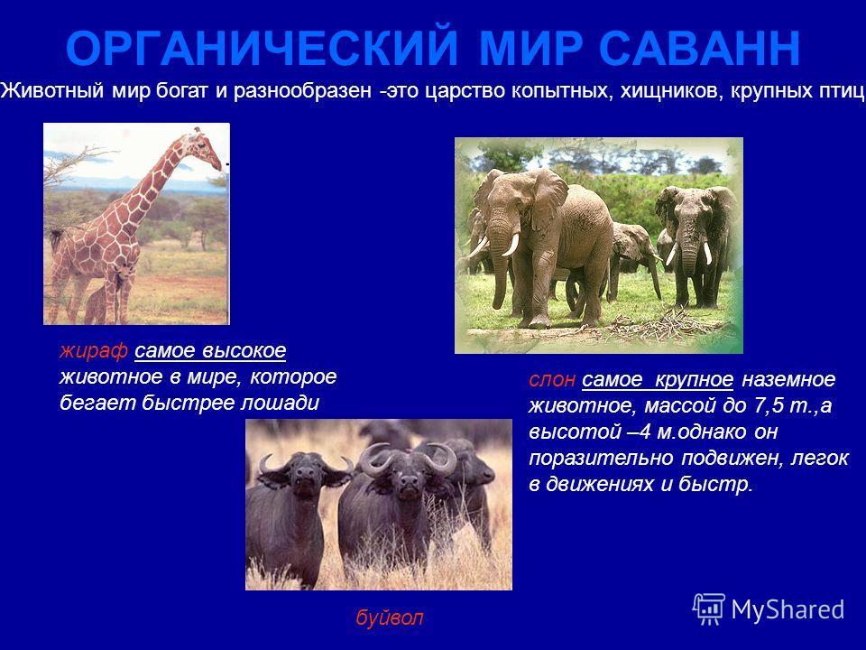 ОРГАНИЧЕСКИЙ МИР САВАНН Животный мир богат и разнообразен -это царство копытных, хищников, крупных птиц буйвол слон самое крупное наземное животное, массой до 7,5 т.,а высотой –4 м.однако он поразительно подвижен, легок в движениях и быстр. жираф сам