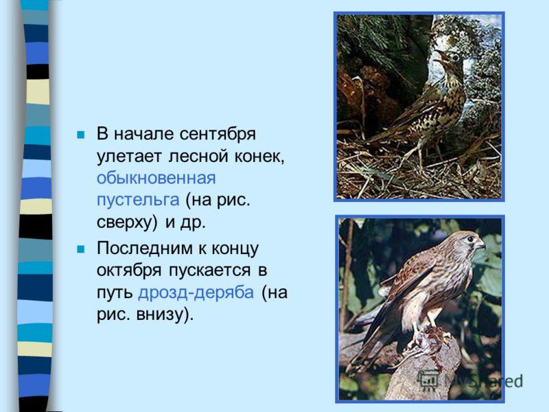 n В начале сентября улетает лесной конек, обыкновенная пустельга (на рис. сверху) и др. n Последним к концу октября пускается в путь дрозд-деряба (на рис. внизу).