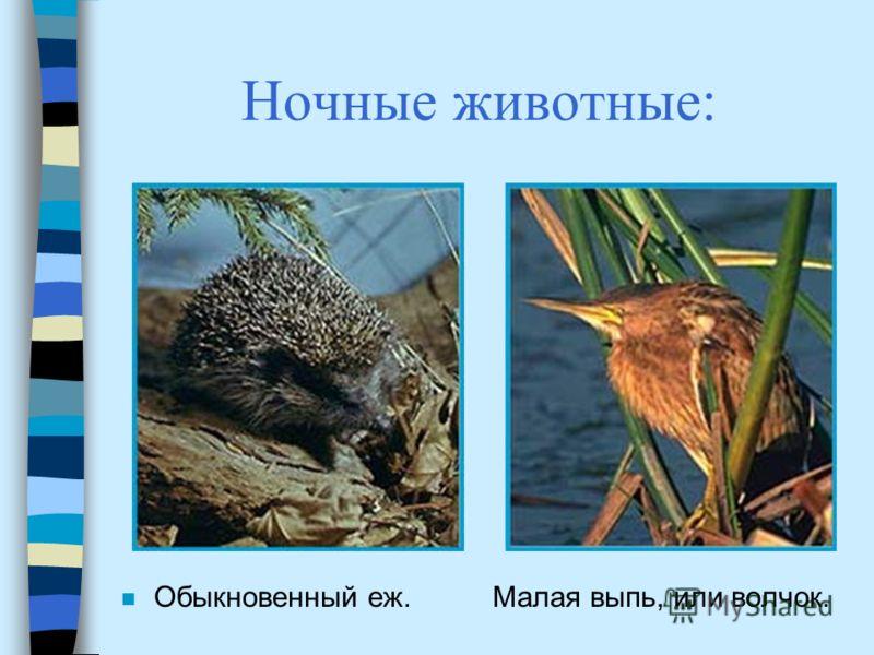 Ночные животные: n Обыкновенный еж. Малая выпь, или волчок.