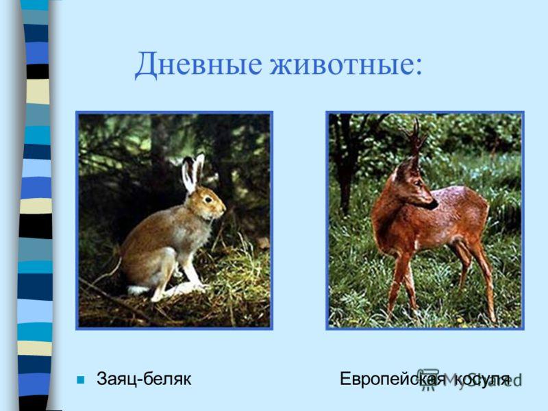 Дневные животные: n Заяц-беляк Европейская косуля