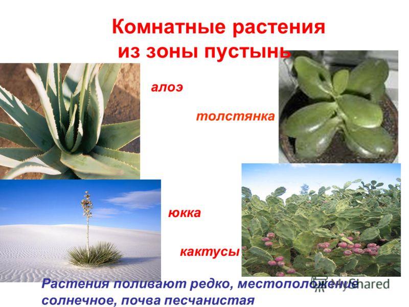 Комнатные растения из зоны пустынь алоэ юкка кактусы Растения поливают редко, местоположение солнечное, почва песчанистая толстянка