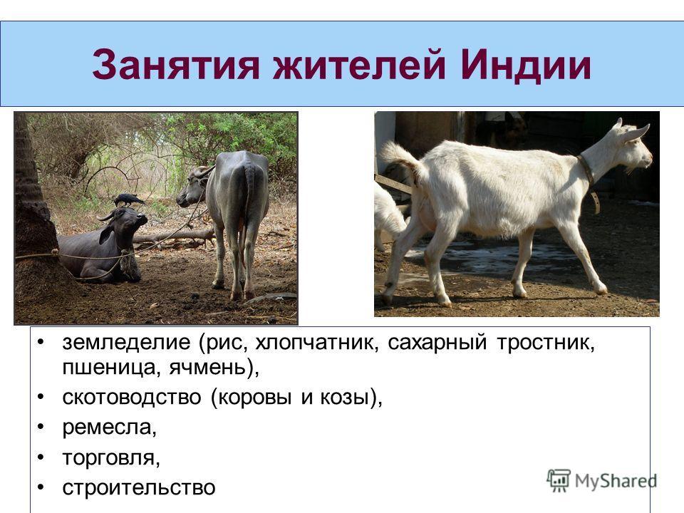 Занятия жителей Индии земледелие (рис, хлопчатник, сахарный тростник, пшеница, ячмень), скотоводство (коровы и козы), ремесла, торговля, строительство