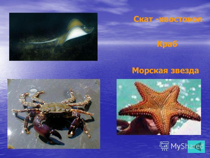 Краб Скат -хвостокол Морская звезда