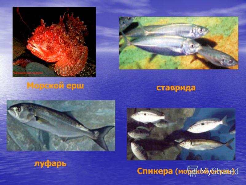 луфарь Морской ерш Спикера (морской окунь) ставрида