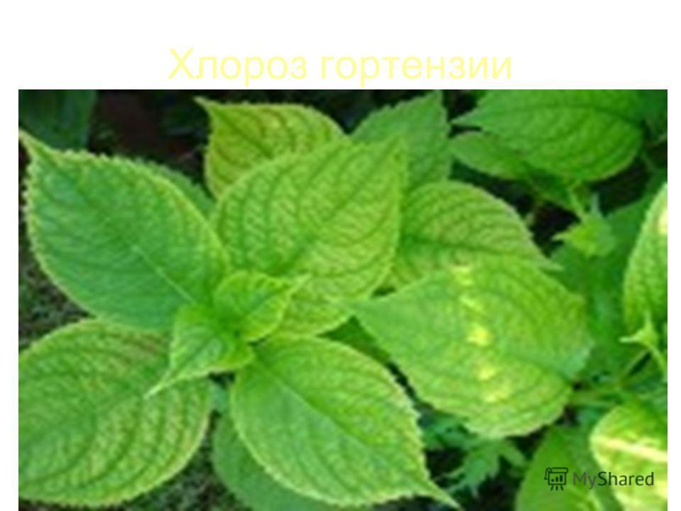 Хлороз гортензии