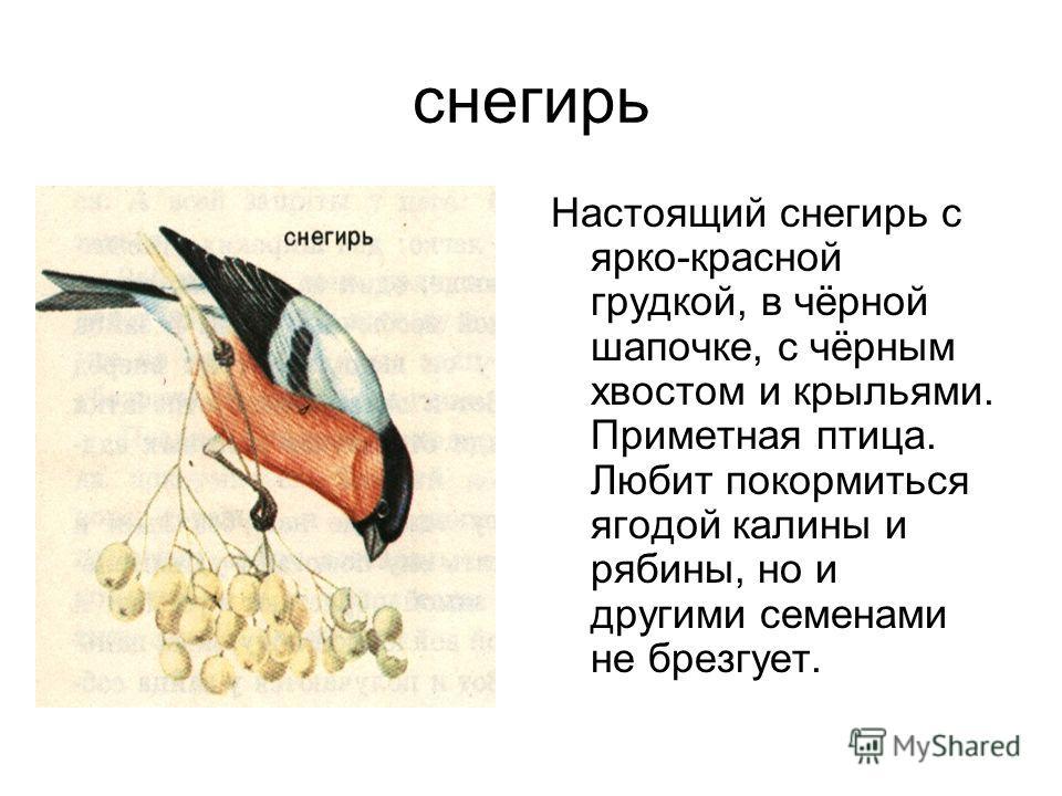 снегирь Настоящий снегирь с ярко-красной грудкой, в чёрной шапочке, с чёрным хвостом и крыльями. Приметная птица. Любит покормиться ягодой калины и рябины, но и другими семенами не брезгует.