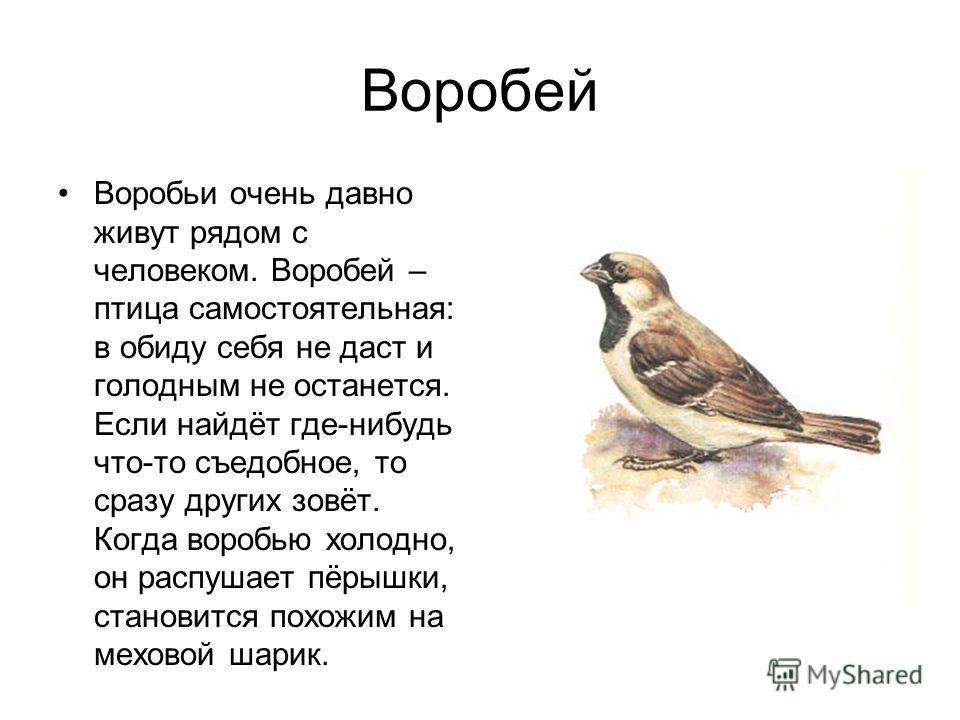 Воробей Воробьи очень давно живут рядом с человеком. Воробей – птица самостоятельная: в обиду себя не даст и голодным не останется. Если найдёт где-нибудь что-то съедобное, то сразу других зовёт. Когда воробью холодно, он распушает пёрышки, становитс