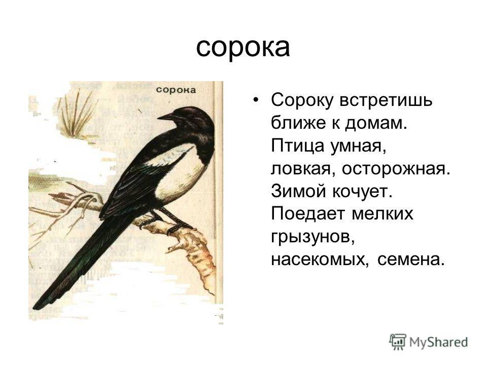 сорока Сороку встретишь ближе к домам. Птица умная, ловкая, осторожная. Зимой кочует. Поедает мелких грызунов, насекомых, семена.