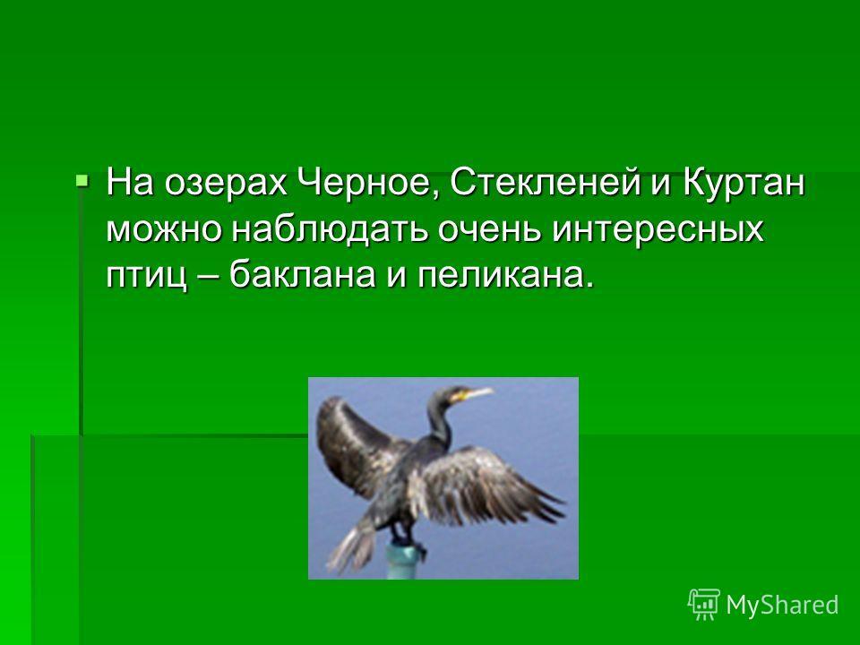 На озерах Черное, Стекленей и Куртан можно наблюдать очень интересных птиц – баклана и пеликана. На озерах Черное, Стекленей и Куртан можно наблюдать очень интересных птиц – баклана и пеликана.