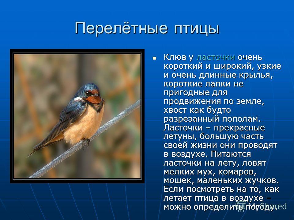 Перелётные птицы Клюв у ласточки очень короткий и широкий, узкие и очень длинные крылья, короткие лапки не пригодные для продвижения по земле, хвост как будто разрезанный пополам. Ласточки – прекрасные летуны, большую часть своей жизни они проводят в