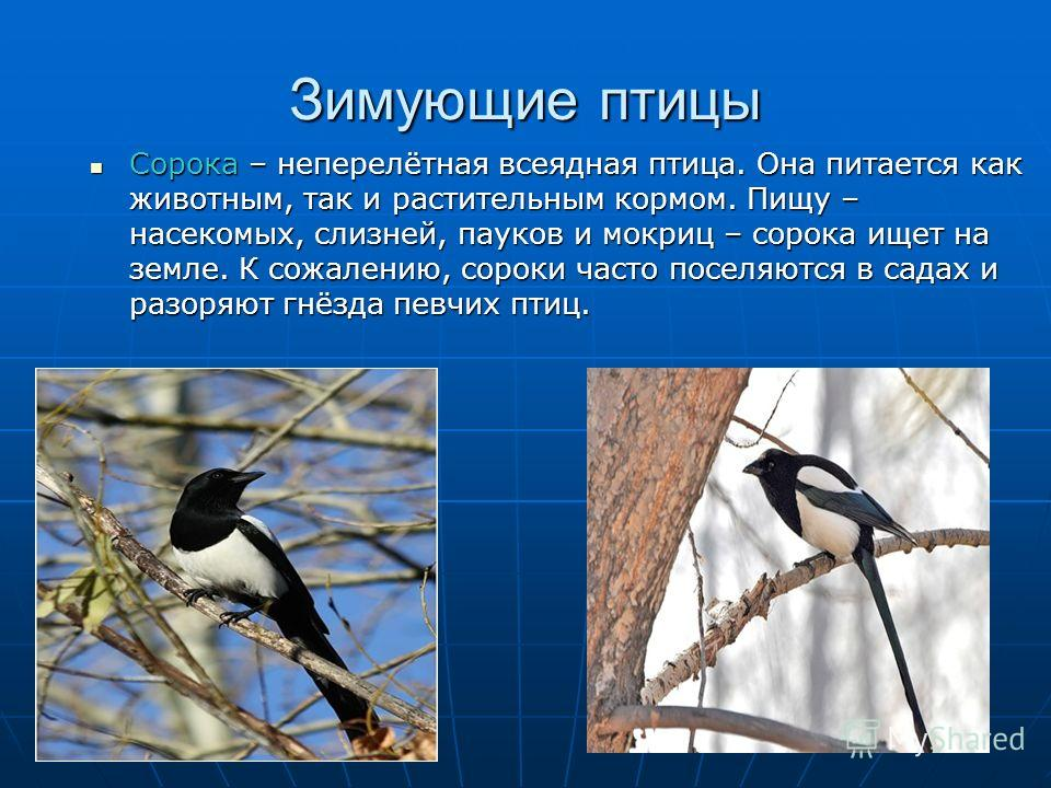 Зимующие птицы Сорока – неперелётная всеядная птица. Она питается как животным, так и растительным кормом. Пищу – насекомых, слизней, пауков и мокриц – сорока ищет на земле. К сожалению, сороки часто поселяются в садах и разоряют гнёзда певчих птиц.