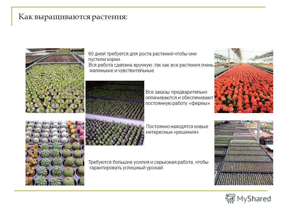 Как выращиваются растения: 60 дней требуется для роста растений чтобы они пустили корни. Вся работа сделана вручную,так как все растения очень маленькие и чувствительные. Все заказы предварительно оплачиваются и обеспечивают постоянную работу «фермы»