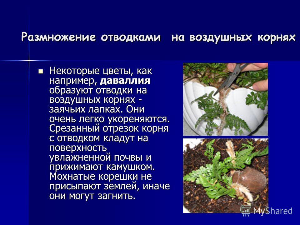 Размножение отводками на воздушных корнях Размножение отводками на воздушных корнях Некоторые цветы, как например, даваллия образуют отводки на воздушных корнях - заячьих лапках. Они очень легко укореняются. Срезанный отрезок корня с отводком кладут