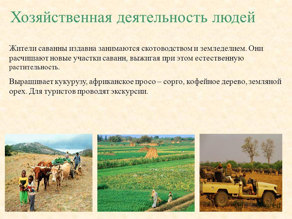 Хозяйственная деятельность людей Жители саванны издавна занимаются скотоводством и земледелием. Они расчищают новые участки саванн, выжигая при этом естественную растительность. Выращивает кукурузу, африканское просо – сорго, кофейное дерево, земляно