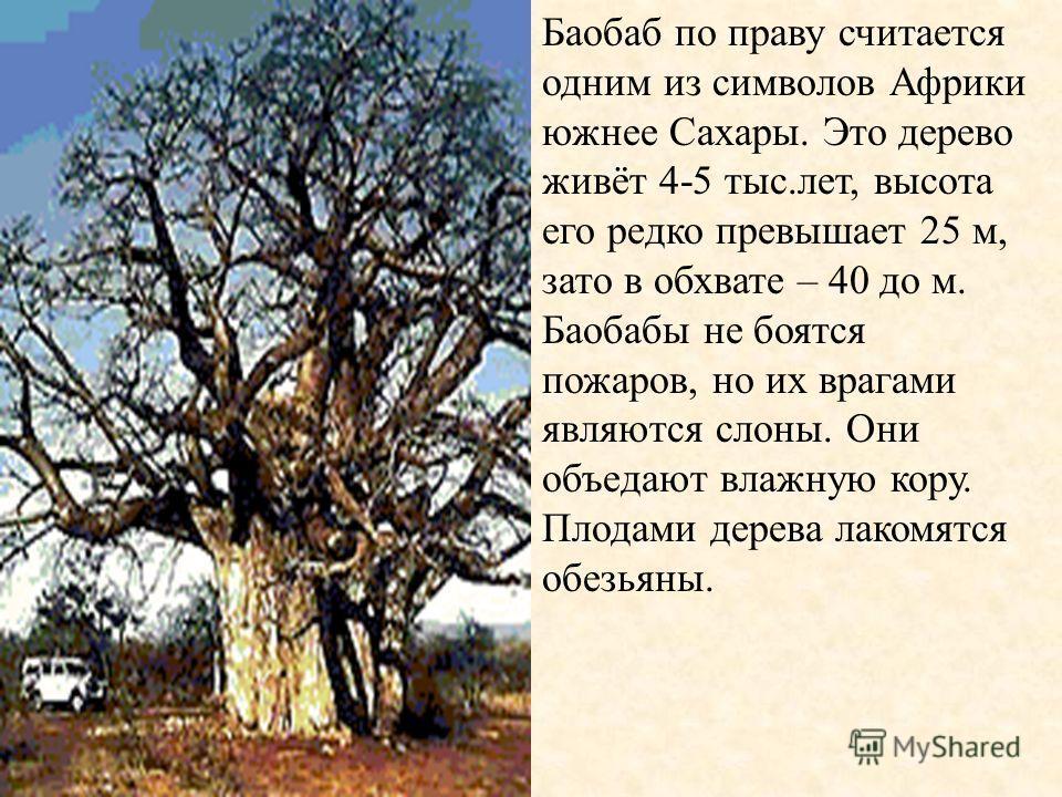 Баобаб по праву считается одним из символов Африки южнее Сахары. Это дерево живёт 4-5 тыс.лет, высота его редко превышает 25 м, зато в обхвате – 40 до м. Баобабы не боятся пожаров, но их врагами являются слоны. Они объедают влажную кору. Плодами дере