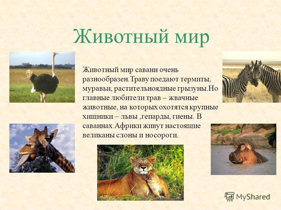 Животный мир Животный мир саванн очень разнообразен.Траву поедают термиты, муравьи, растительноядные грызуны.Но главные любители трав – жвачные животные, на которых охотятся крупные хищники – львы,гепарды, гиены. В саваннах Африки живут настоящие вел