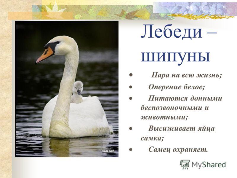 Лебеди – шипуны Пара на всю жизнь; Оперение белое; Питаются донными беспозвоночными и животными; Высиживает яйца самка; Самец охраняет.