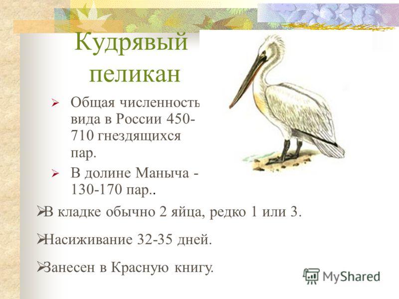 Кудрявый пеликан Общая численность вида в России 450- 710 гнездящихся пар. В долине Маныча - 130-170 пар.. В кладке обычно 2 яйца, редко 1 или 3. Насиживание 32-35 дней. Занесен в Красную книгу.