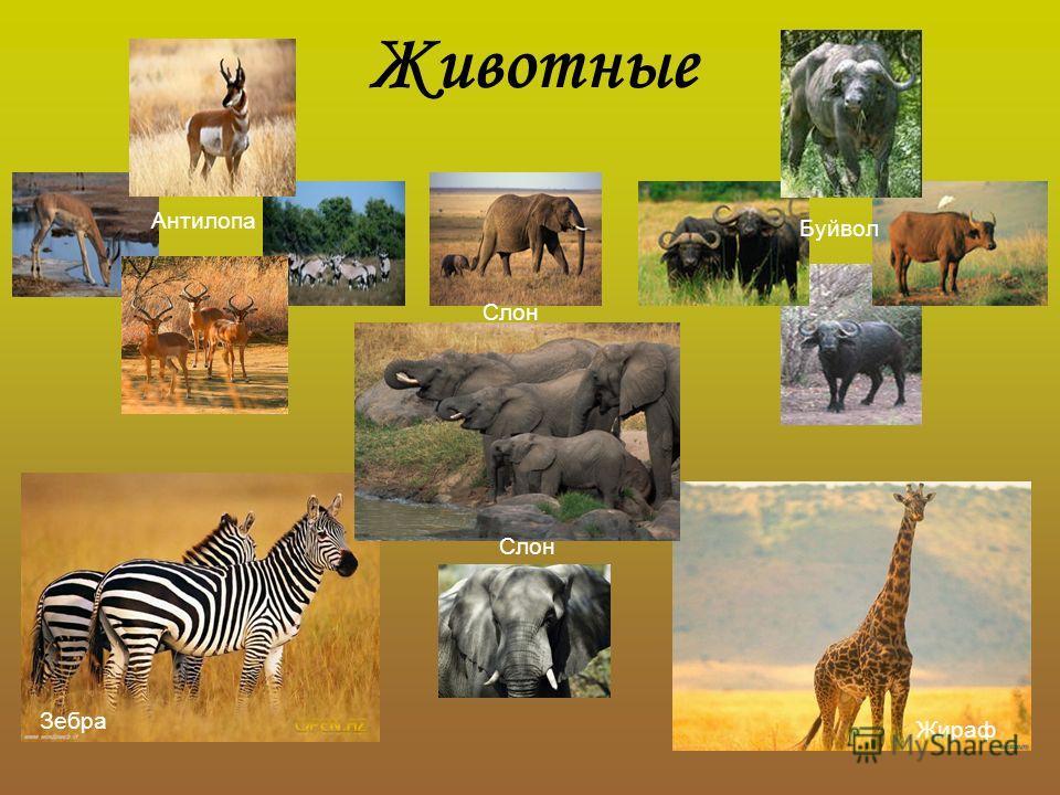 Животные Антилопа Слон Жираф Зебра Буйвол