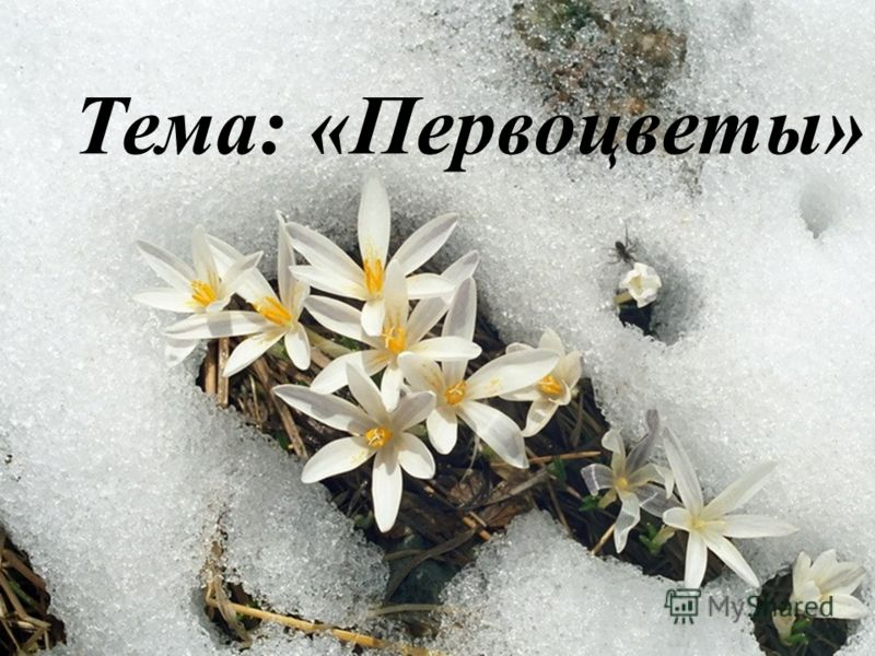 Тема: «Первоцветы»