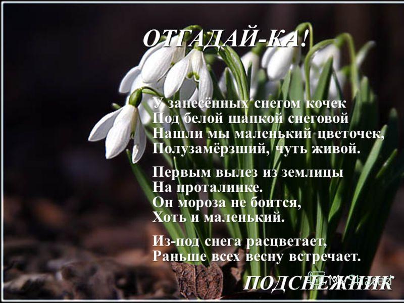 ОТГАДАЙ-КА! У занесённых снегом кочек Под белой шапкой снеговой Нашли мы маленький цветочек, Полузамёрзший, чуть живой. Первым вылез из землицы На проталинке. Он мороза не боится, Хоть и маленький. Из-под снега расцветает, Раньше всех весну встречает