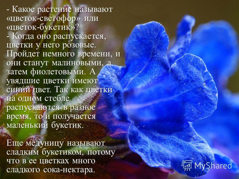 - Какое растение называют «цветок-светофор» или «цветок-букетик»? - Когда оно распускается, цветки у него розовые. Пройдет немного времени, и они станут малиновыми, а затем фиолетовыми. А увядшие цветки имеют синий цвет. Так как цветки на одном стебл