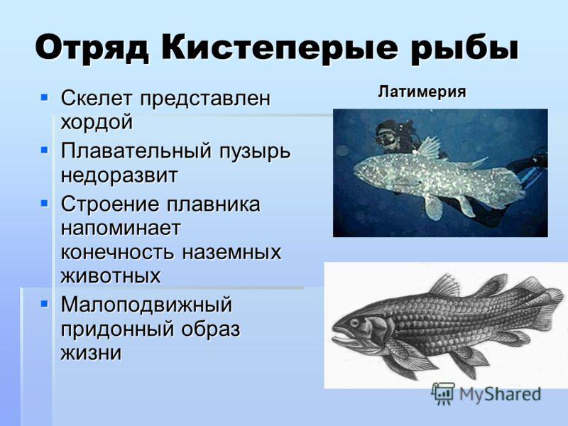 Отряд Кистеперые рыбы Скелет представлен хордой Скелет представлен хордой Плавательный пузырь недоразвит Плавательный пузырь недоразвит Строение плавника напоминает конечность наземных животных Строение плавника напоминает конечность наземных животны