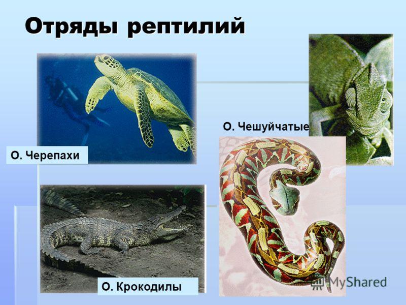 Отряды рептилий О. Чешуйчатые О. Черепахи О. Крокодилы