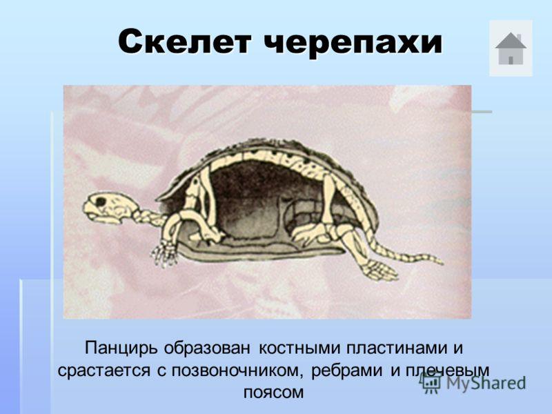 Скелет черепахи Панцирь образован костными пластинами и срастается с позвоночником, ребрами и плечевым поясом