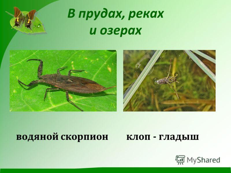 В прудах, реках и озерах водяной скорпион клоп - гладыш