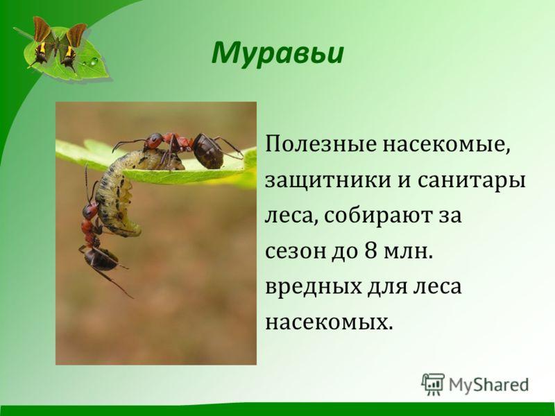 Муравьи Полезные насекомые, защитники и санитары леса, собирают за сезон до 8 млн. вредных для леса насекомых.