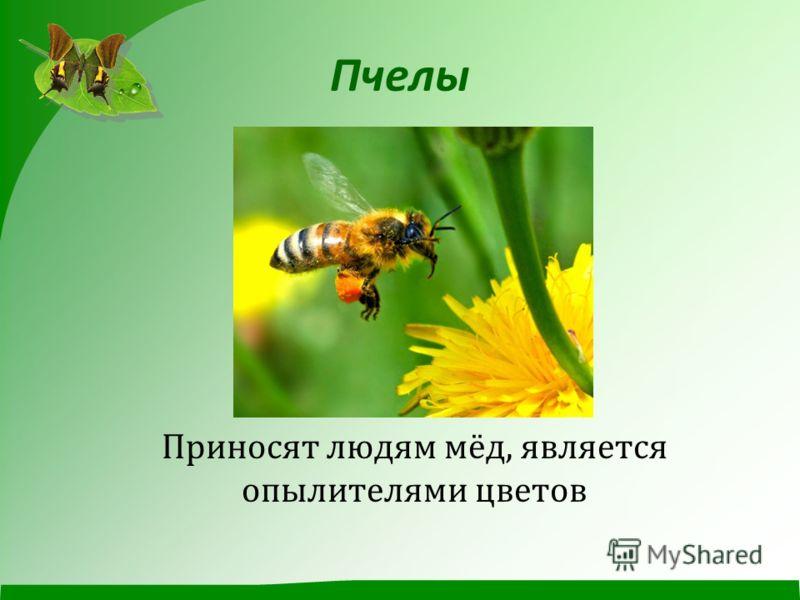 Пчелы Приносят людям мёд, является опылителями цветов