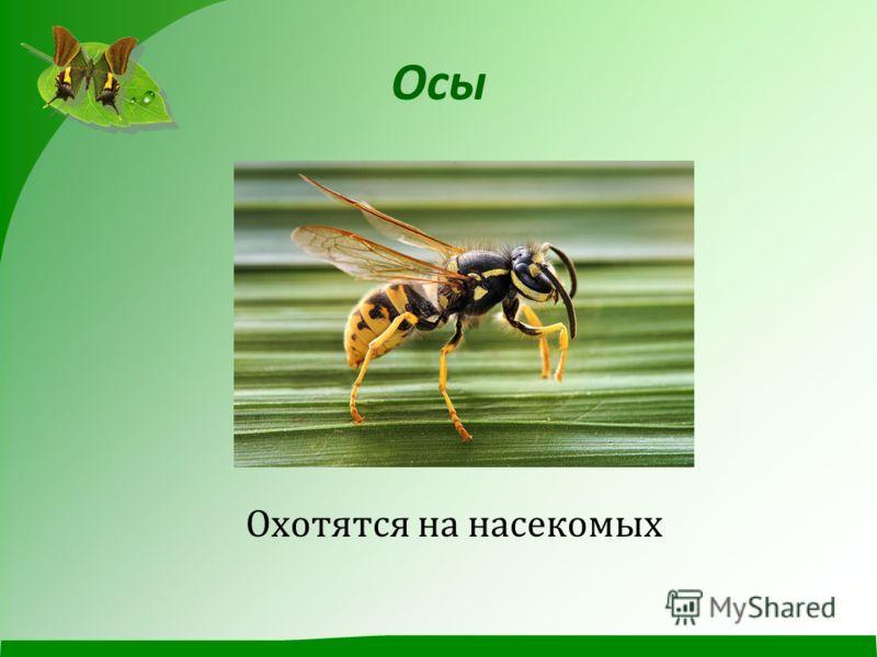Осы Охотятся на насекомых