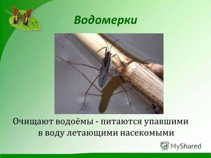 Водомерки Очищают водоёмы - питаются упавшими в воду летающими насекомыми