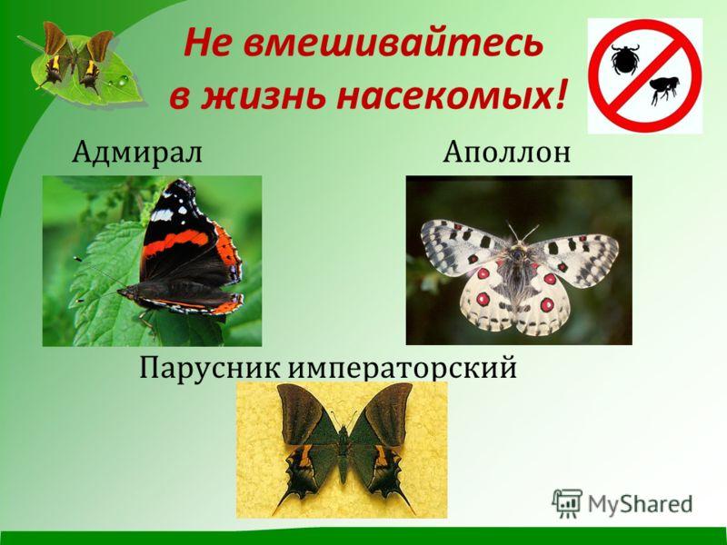 Не вмешивайтесь в жизнь насекомых ! Адмирал Аполлон Парусник императорский