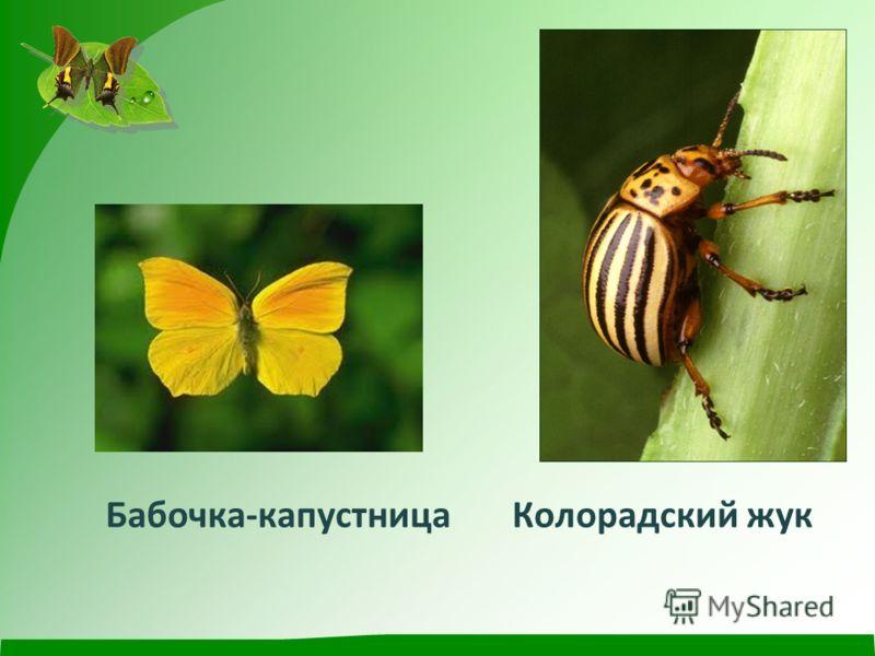 Бабочка - капустница Колорадский жук