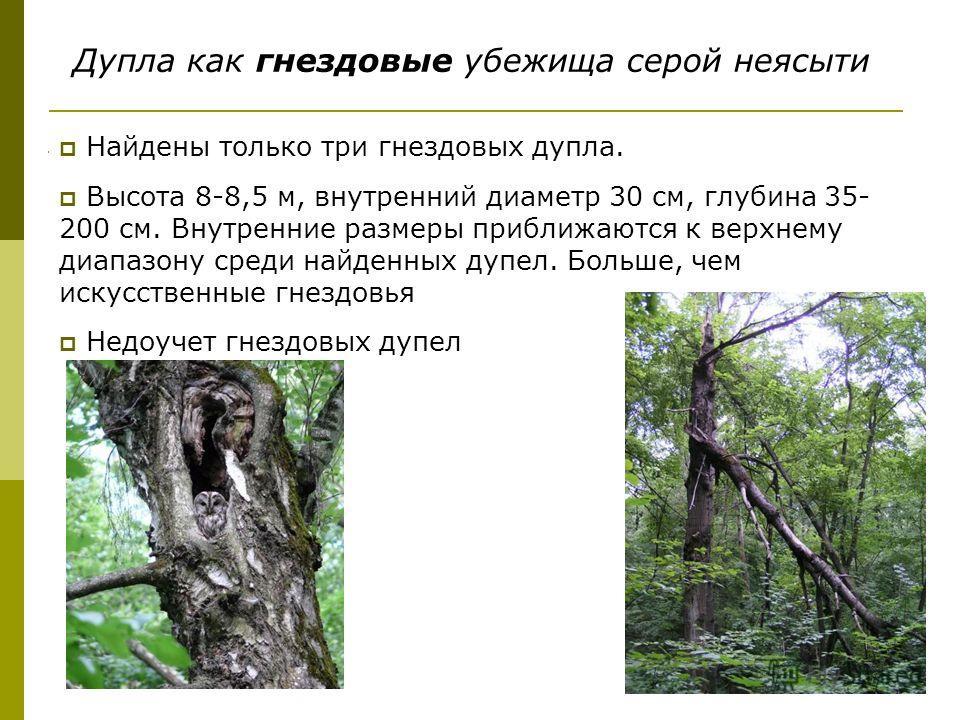 Дупла как гнездовые убежища серой неясыти Найдены только три гнездовых дупла. Высота 8-8,5 м, внутренний диаметр 30 см, глубина 35- 200 см. Внутренние размеры приближаются к верхнему диапазону среди найденных дупел. Больше, чем искусственные гнездовь
