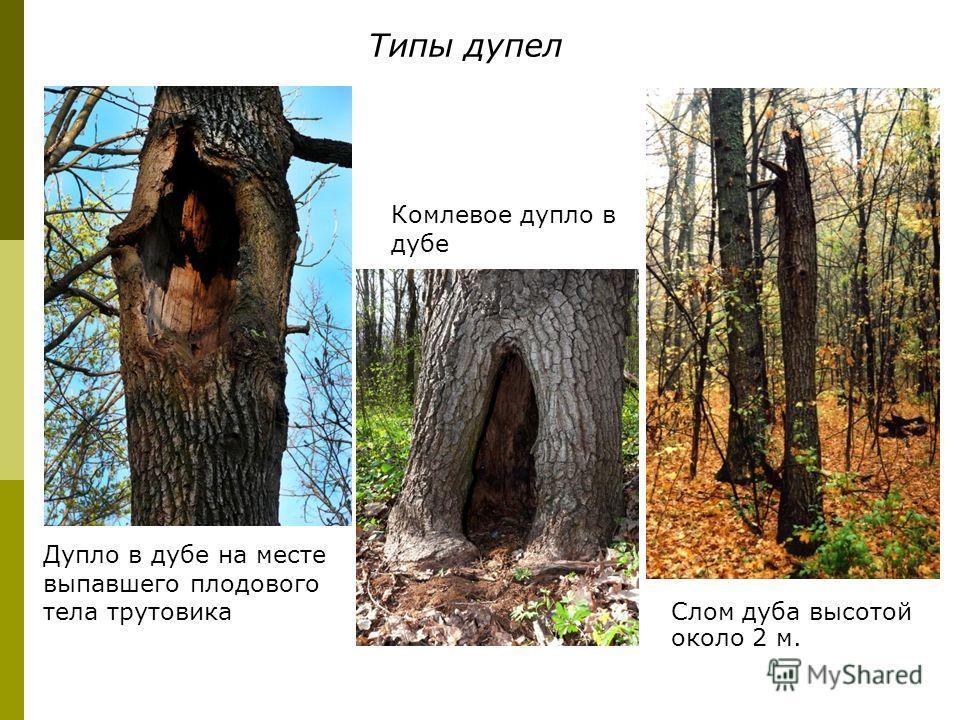 Слом дуба высотой около 2 м. Дупло в дубе на месте выпавшего плодового тела трутовика Комлевое дупло в дубе Типы дупел